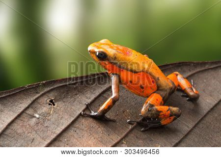 poison dart frog Oophaga histrionica from the tropical rain forest of Colombia. An orange poisonous small jungle animal.