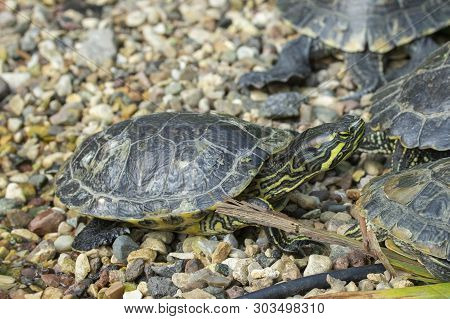 Red-eared Slider Is The Scientific Name For Trachemys Scripta Elegans In The Wild. Turtle Among Cong
