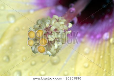 Hibiscus Particular
