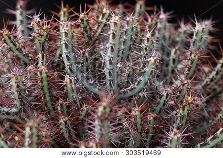 Cactus Tree Isolated Black Background. Succulent Plant