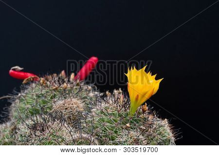 Cactus Flower Blooming On Tree  Isolated On Black Background, Succulent Plant