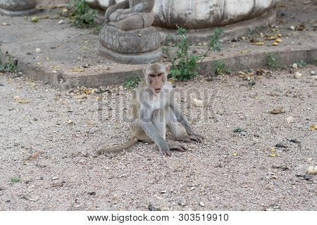 The Rhesus Macaque, Rhesus Monkey, In The Temple Thailand