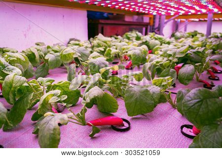 Radish plants grown in aquaponics system combining fish aquaculture with hydroponics, cultivating plants in water under artificial lighting poster