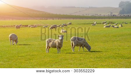 Sheep Grazing On A Hill In Central Otago, New Zealand. Sheep Farming In Otago Region Of New Zealand.