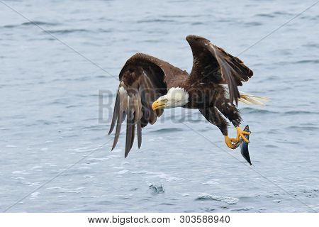 This Majestic Marvel Of Flight Soars Down To The Atlantic Ocean To Swoop Up A Fish With His Talons.
