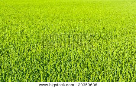 From The Beginning Of Rice Grains