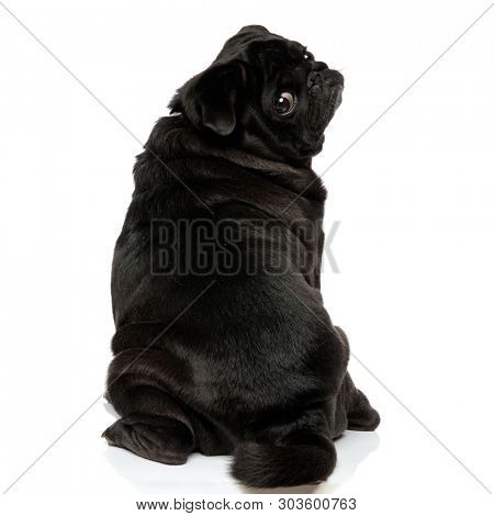 Back view of a clumsy pug looking over its shoulder with its mouth closed while sitting on white studio background