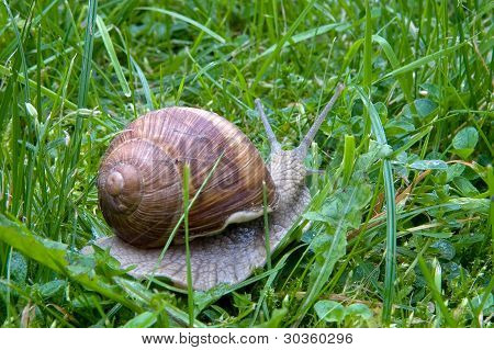 Big snail outside in green grass