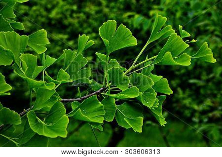 Green Branch Of A Ginkgo.