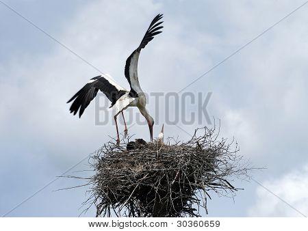 Stork Landing On Nest
