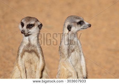Two Inquisitive And Cute Meerkats Looking Around, Isolated In Their Habitat Against A Brown Backgrou