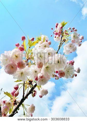 White and pink cherry blossom flowers in spring season