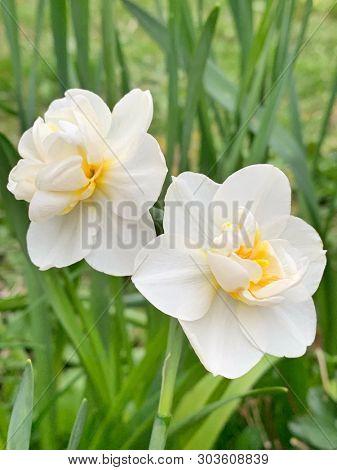 White yellow mini daffodil flowers in spring season