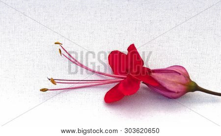 Photograph Of A Single Flower Of The Scarlet Glory Bower Vine That Is Common In Southern Florida And
