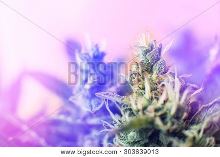 Concepts Of Legalizing Herbs Weed. Macro Shot With Sugar Trichomes. Medicinal Marijuana Cbd Thc. Bud