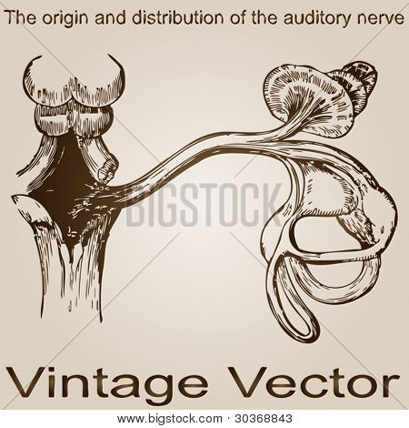 Vector concept or conceptual anatomy or anatomical old vintage sketch drawing of a human auditory nerve inside the ear design after Practical And Surgical Anatomy by Erasmus Wilson, Philadelphia,1851