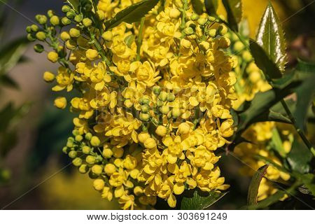 A Flowering Plant Of An Evergreen Oregon Grape Shrub With Feathery Green Leaves, Consisting Of Prick