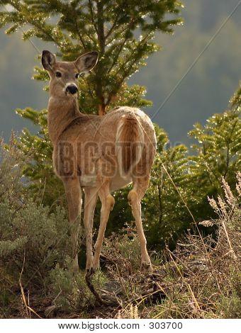 Wary Deer