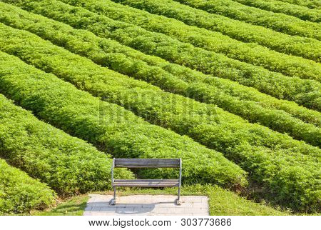 Wooden park bench with the background of Chinese milk vetch field at sunrise in a park,Fuzhou,China