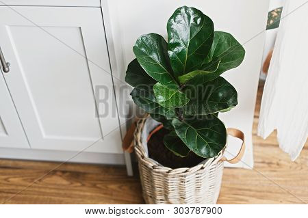 Big Fiddle Leaf Fig Tree In Stylish Modern Pot Near Kitchen Furniture. Ficus Lyrata Leaves, Stylish