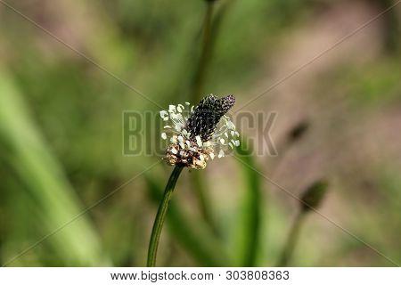Ribwort Plantain Or Plantago Lanceolata Or Narrowleaf Plantain Or English Plantain Or Ribleaf Or Lam