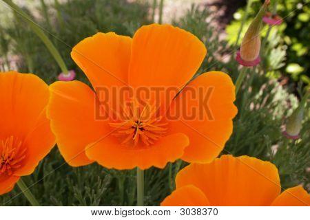 3 Vibrant California Poppies