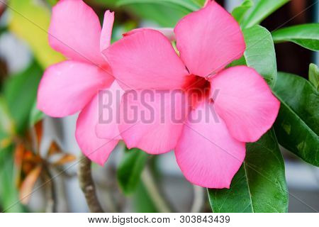 fascinatingly flowers on tree.pink  flowers.Ornamental plants for planting in front of the house. poster
