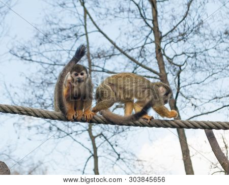 Squirrel Beautiful Monkeys, Saimiri Sciureus, On The Rope With The Blue Color Of Sky In The Backgrou