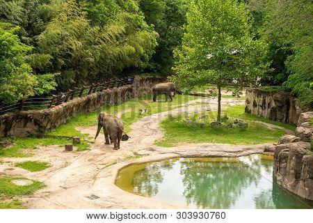 Washington Dc - May 11, 2019: Elephants Walk Around In Their Habitat In The Smithsonian National Zoo