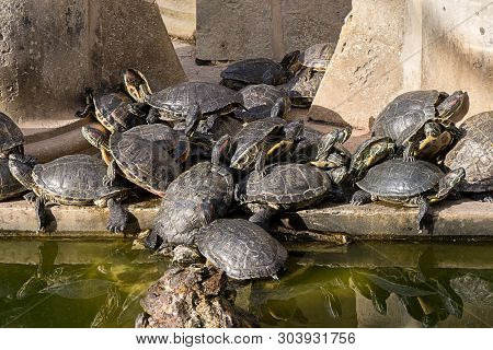 A Group Of Trachemys Scripta Turtles Sunning On Stones In Funny Pile In Public Garden