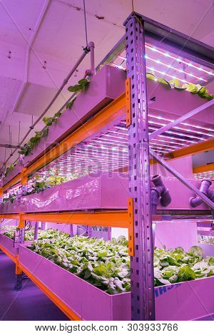 Shelves with lettuce in aquaponics system combining fish aquaculture with hydroponics, cultivating plants in water under artificial lighting, indoors poster
