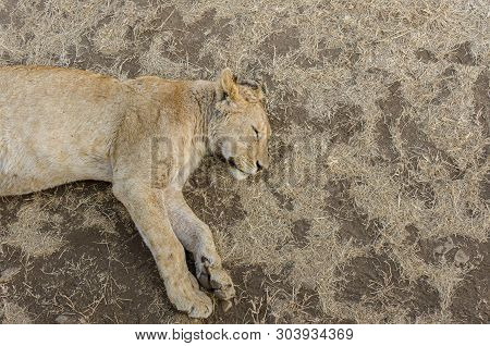 Looking down at a sleeping lion in ngorongoro crater, Tanzania poster