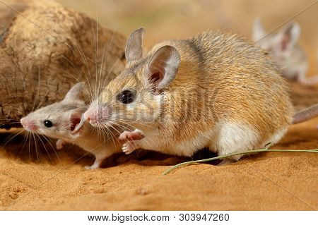 Close-up Female Spiny Mouse And  Little Mouse (acomys Cahirinus) Hiding Under Snag .  Small Dof Focu