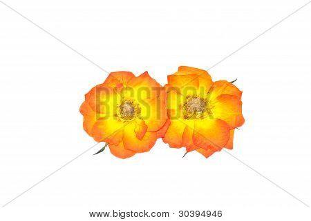 Press Rose Flower