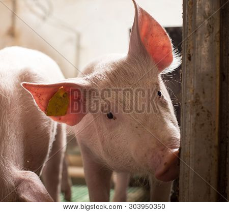 Cute Curious Piglet Looking At Camera In Pigpen