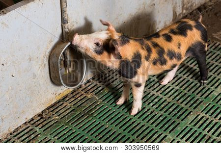 Cute Mixed Race Piglet Drinking Water From Faucet In Modern Pigpen