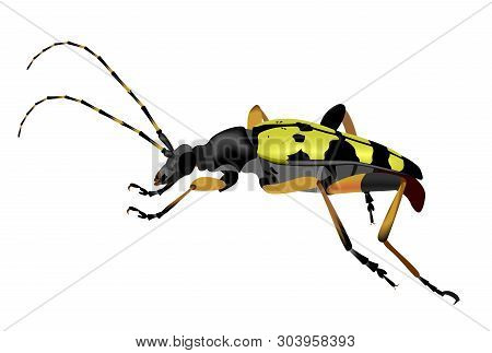 Illustration Of A Spotted Longhorn Beetle, Rutpela Maculata, Isolated On White Background.