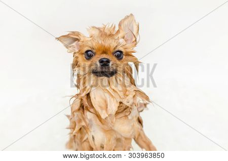 Funny Small Dog Pomeranian Puppy Taking A Bath