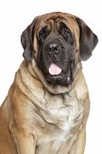 Close-up portrait of English Mastiff on a white background poster