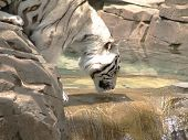 Close up photo of a white tiger drinking poster
