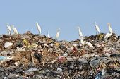 many white egrets on the garbage heap poster