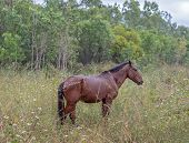 Neglected and starving wild brumbie horse grazing in a grassy country paddock in the rain poster