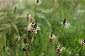 The flowering heads of ribwort plantain, plantago lanceolata. Several inflorescences in the grass. Ribwort plantain is also a traditional medicinal plant. poster