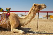 Robot controlled camel racing in the desert of Qatar Middle East on a sunny day. Racing camels warming up in the morning sun on the Racetrack poster