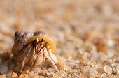 hermit crab on the beach,Surin island Thailand poster