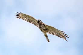 Red Shouldered Hawk Flying Through The Air.