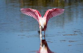 A Roseate Spoonbill Wading Through  Shallow Water.