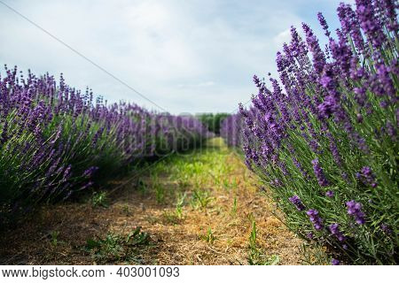 Lavender Field In Sunlight. Field Of Lavender, Officinalis. Beautiful Image Of Lavender Field.lavend