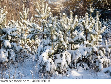 Beautiful Winter Snow Fir Forest After Snowfall. Winter Background With Snow Fir Branches