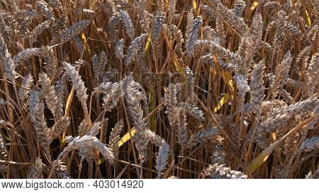 Ripe Ears Of Wheat Tangled By Wind On Field With Golden Sunset Light. Agricultural Wheat Grainy Text